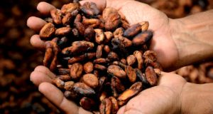 getrocknete Kakaobohnen